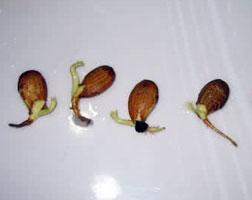 Посадка персика осенью: косточкой, когда лучше сажать